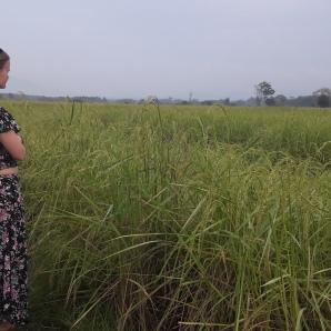 Rice fields short after sunrise